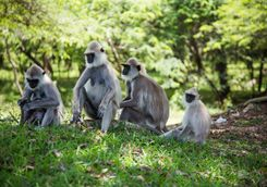 Monkeys Sri Lanka