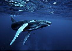 Humpback Whale, Mozambique