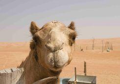camel wahiba sands