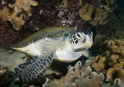 scuba diving turtle oman