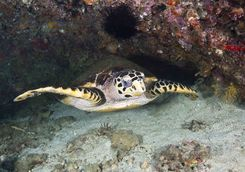 hawksbill turtle daymaniyat islands