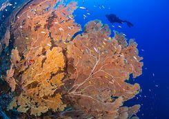 coral reef alphonse