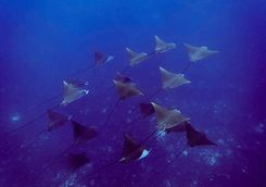 spotted eagle rays