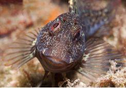 blenny fish in malta