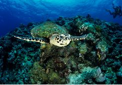 hawksbill turtle kimbe bay