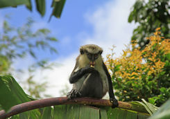 mona monkeys