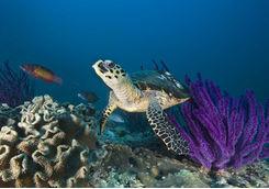 purple coral reef