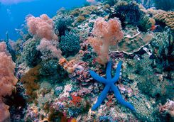 coral blue star fish