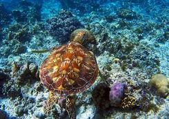 turtle bohol