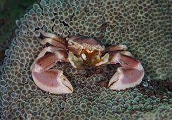 crab muck