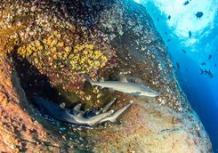 reef sharks roca partida