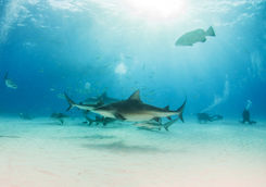 bull shark diivng mexico
