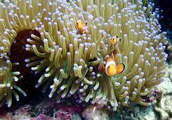 clown fish coral