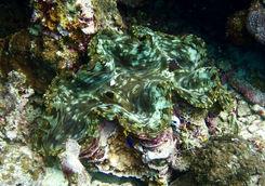 el nido coral clam