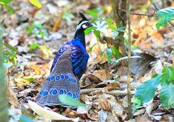 palawan pheasant