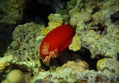 red sea slug