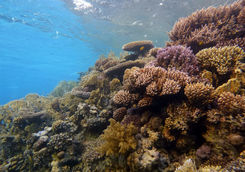 coral red sea