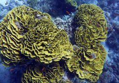 yellow green reef