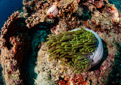 anemone coral reef