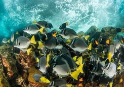 yellow surgon fish