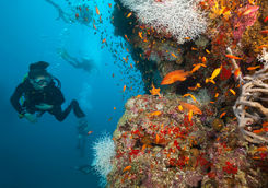 woman diver coral