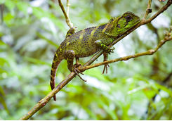 amazon forest dragon on branch