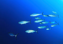 school of dog tooth tuna