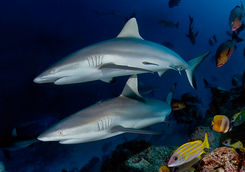 reef sharks alphonse