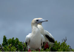red footed booby seychelles