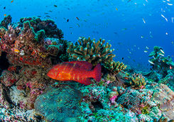 bright red fish and coral alphonse