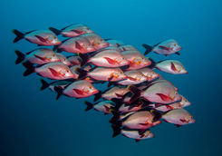 humpback snapper fish shoal