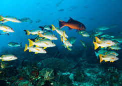 Snappers and Groupers, Cape Kri
