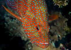 Orange Coral Grouper, Misool