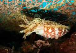Cuttlefish, Raja Ampat