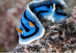 Nudibranch, Raja Ampat