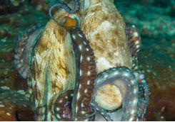 Octopus, Raja Ampat