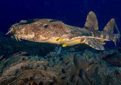 Wobbegong Shark, Raja Ampat