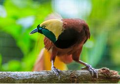 Bird of Paradise, Raja Ampat