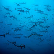 fever of hammerheads, cocos island