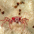 pom pom crab