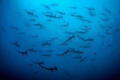 Hammerheads, Cocos Island