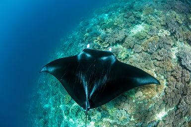 Manta ray and reef