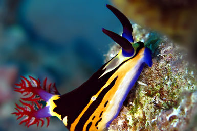 Nudibranch on reef