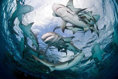 Fever of sharks