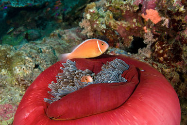 Anemone fish and coral