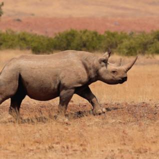A rhino at Desert Rhino, luxury camp in Namibia