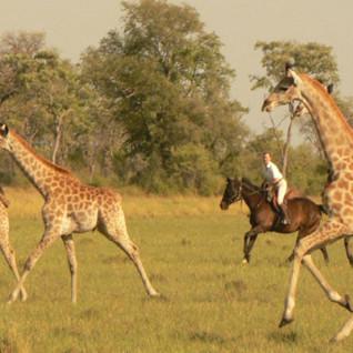 Spotting giraffes at Ride Makgadikgadi Pans, luxury camp in Botswana