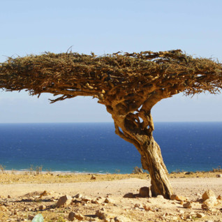 A Gnarled Tree in Musandam