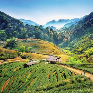 Tea Plantation at Ang Khang - Thailand