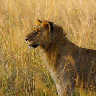 Lioness standing